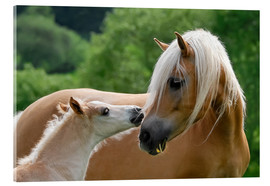 Acrylic print  Haflinger horses foal with mare - Katho Menden