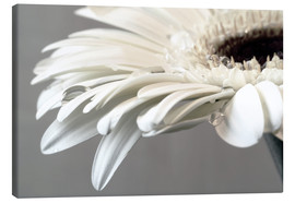 Canvas print  White Gerbera with drops - Susanne Herppich