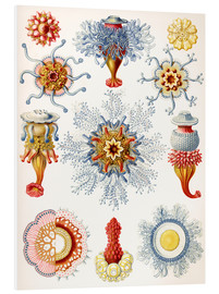 Foam board print  Siphonophorae (Art forms of nature: graphic 17) - Ernst Haeckel