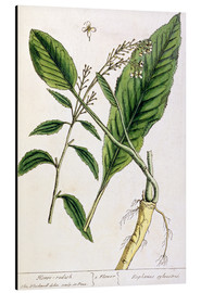 Aluminium print  Horseradish, plate 415 from 'A Curious Herbal', published 1782 - Elizabeth Blackwell