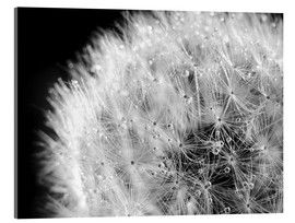 Acrylic print  Dandelion dew drops black and white - Julia Delgado