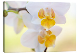 Canvas print  White orchids against soft yellow background - Julia Delgado