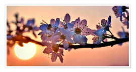 Premium poster  Cherry blossoms against evening under the setting sun - Julia Delgado