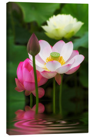 Canvas print  Lotus Trilogy - Thomas Herzog