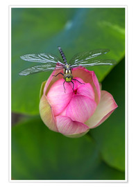 Premium poster Lotus flower with dragonfly