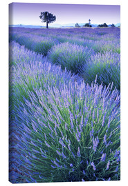 Canvas print  Lavender Field - Simon Kayne