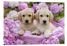 Acrylic print  Labrador puppies in a basket - Greg Cuddiford