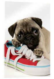 Acrylic print  Pug pup and shoe - Greg Cuddiford