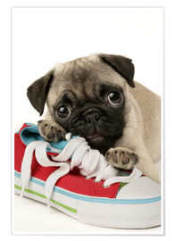 Premium poster  Pug pup and shoe - Greg Cuddiford