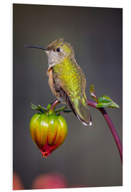 Foam board print  Hummingbird sits on flower bud - Fred Lord