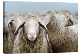 Canvas print  Flock of sheep - Michael Valjak
