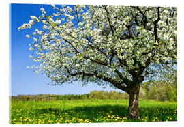Acrylic print  Blossoming trees in spring rural meadow - Peter Wey
