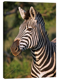 Canvas print  Zebra in Africa, wildlife - wiw