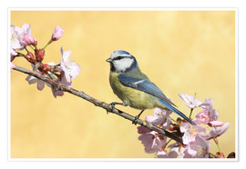 Premium poster Blue tit on a branch of cherry
