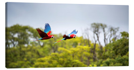 Canvas print  Green-winged Macaws on journey - Alex Saberi