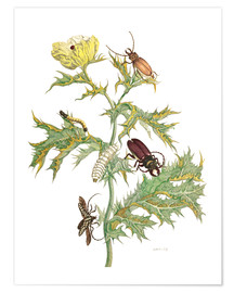 Premium poster  Mexican Prickly Poppy and longhorn beetles - Maria Sibylla Merian