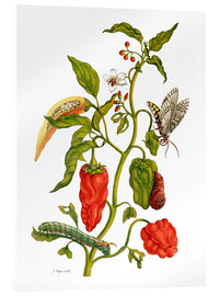 Acrylic print  Peppers and insects - Maria Sibylla Merian