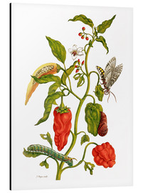 Aluminium print  Peppers and insects - Maria Sibylla Merian
