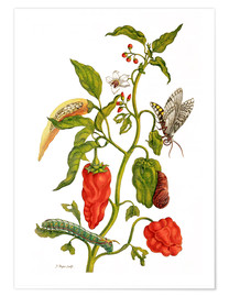Premium poster  Peppers and insects - Maria Sibylla Merian