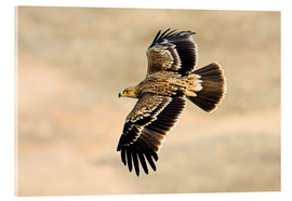 Acrylic print  Eastern imperial eagle in flight - M. Schaef