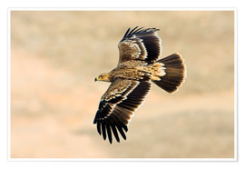 Premium poster  Eastern imperial eagle in flight - M. Schaef