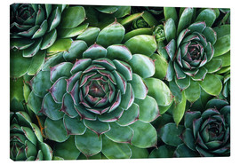 Canvas print  'Hens and chicks' succulents - Kaj R. Svensson
