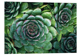 Foam board print  'Hens and chicks' succulents - Kaj R. Svensson