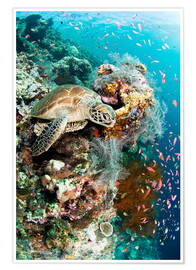 Premium poster  Green turtle - Matthew Oldfield