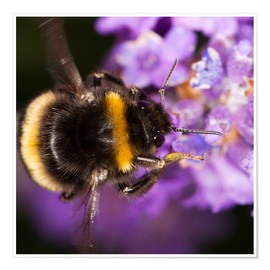 Premium poster  Bumble bee collecting pollen - Power and Syred