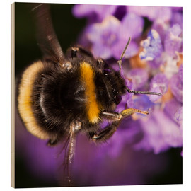 Wood print  Bumble bee collecting pollen - Power and Syred