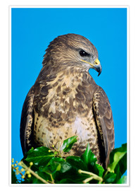 Premium poster  Common buzzard - David Aubrey
