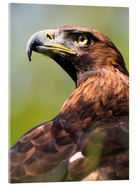 Acrylic print  Golden eagle - Denise Swanson