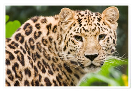 Premium poster  Amur leopard - Power and Syred