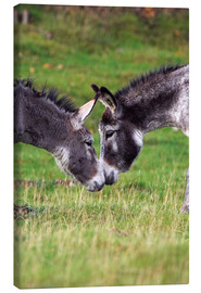 Canvas print  Donkeys touching noses - Duncan Shaw