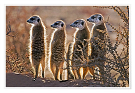 Premium poster  Meerkats on guard duty - Tony Camacho