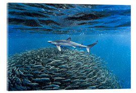 Acrylic print  Hai with jack fish - Christopher Swann