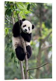 Acrylic print  Panda in a Tree - Tony Camacho