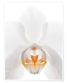 Premium poster  in the throat of the Orchid - GAVIN KINGCOME