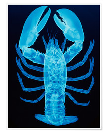 Premium poster  X-ray of lobster - D. Roberts
