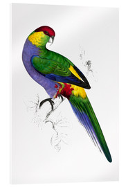 Acrylic print  Red capped Parakeet 1 - Edward Lear