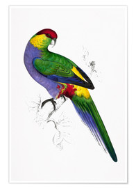 Premium poster Red capped Parakeet 1