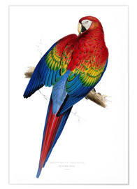 Premium poster  Red & Yellow Macaw - Edward Lear