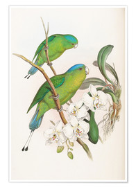 Premium poster  Philippine Racket tailed Parrot - John Gould