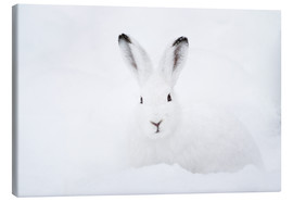 Canvas print  Mountain hare in winter - Peter Wey