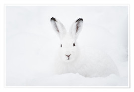 Premium poster  Mountain hare in winter - Peter Wey