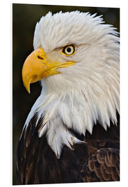 Foam board print  Bald Eagles up close - Adam Jones