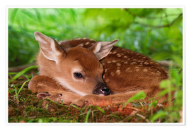 Premium poster  Fawn in the grass - Adam Jones