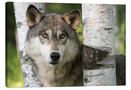 Canvas print  Gray wolf between birches - Jaynes Gallery