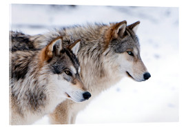 Acrylic print  Two Wolves in the snow - Louise Murray
