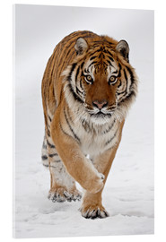 Acrylic print  Siberian Tiger in the snow - James Hager